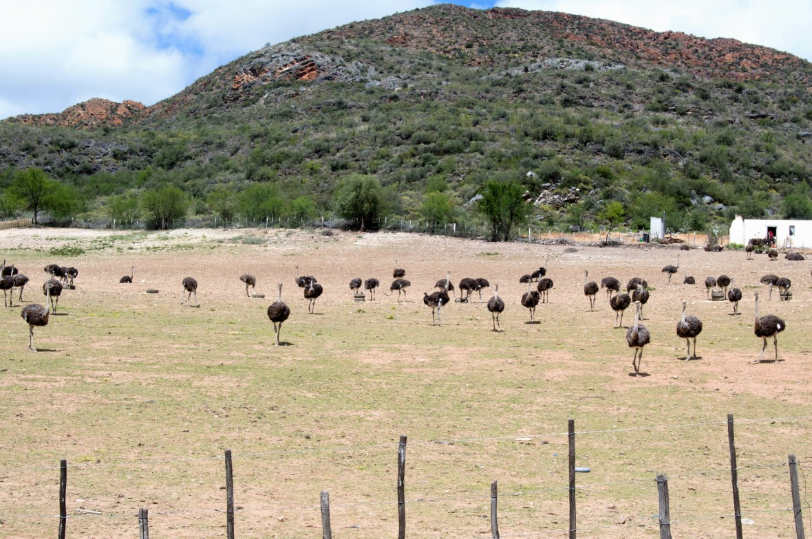 ostrich-farm-oudtshoorn-south-africa