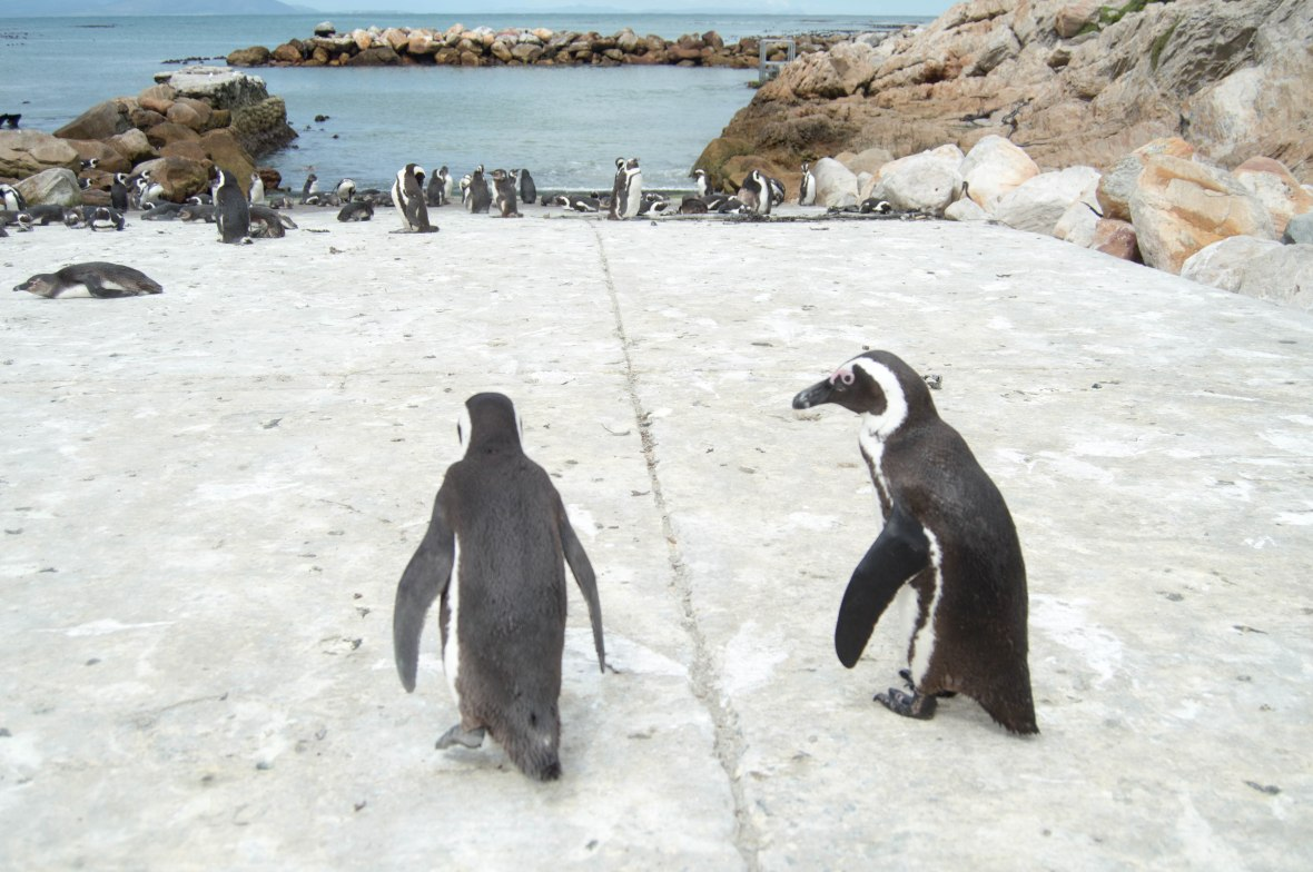 pair-of-penguins-penguins-stony-point-bettys-bay-south-africa