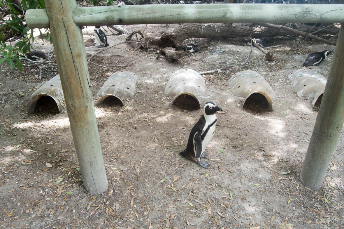 penguin-nests-boulders-beach-cape-town-south-africa