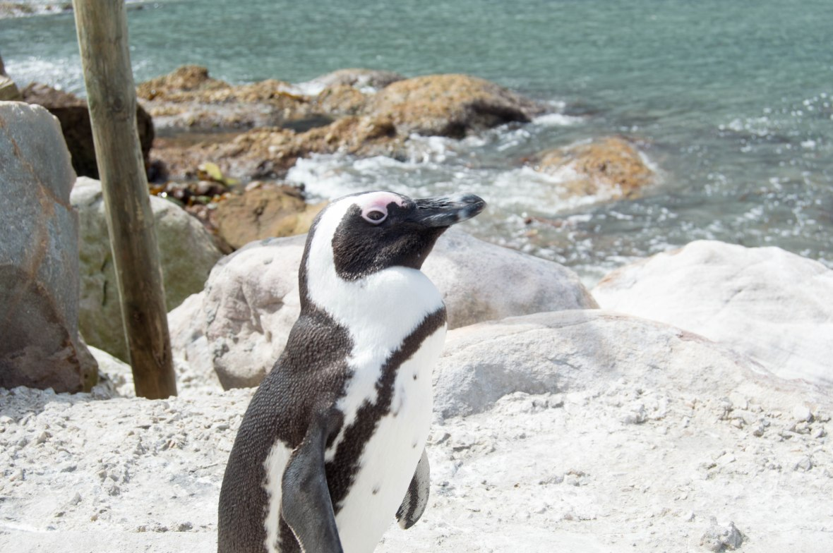 penguin-stony-point-bettys-bay-south-africa