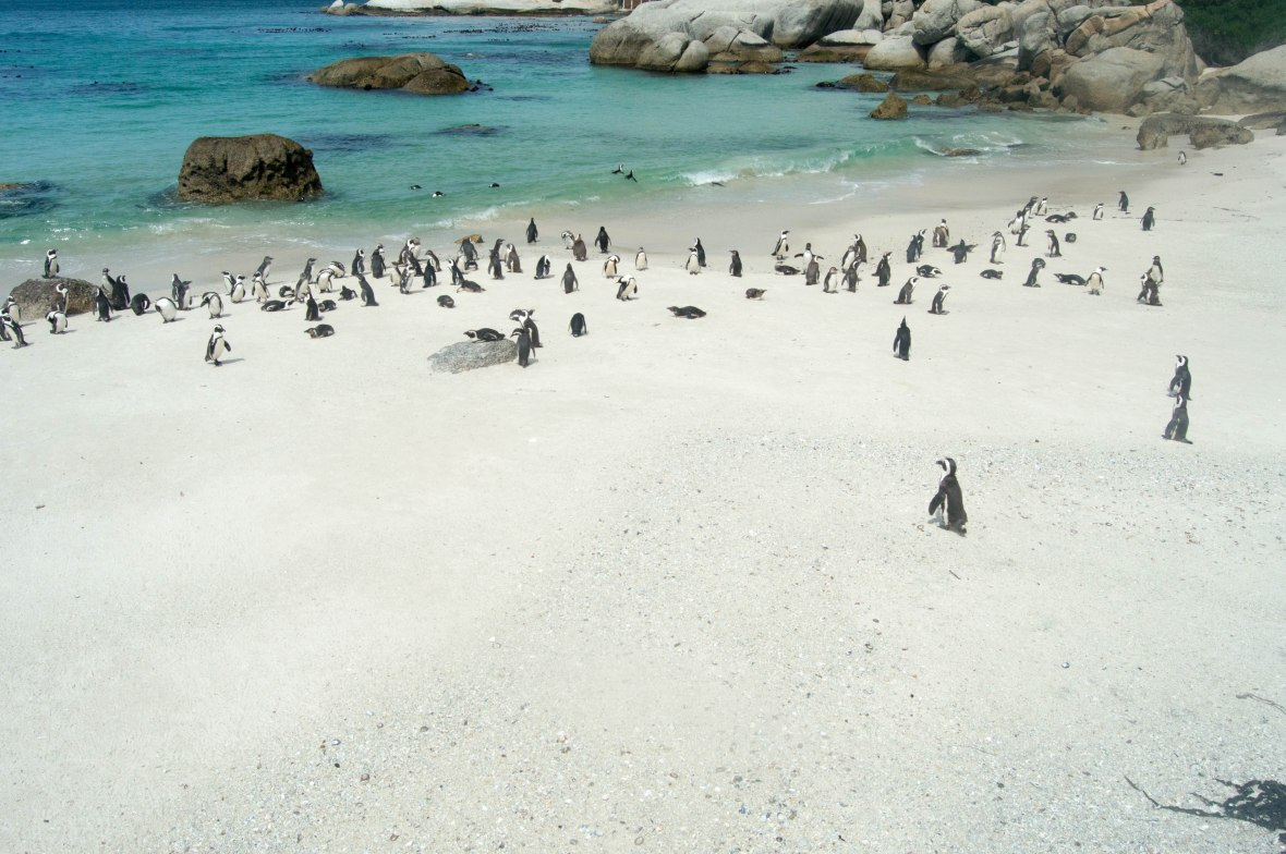 penguins-at-the-beach-boulders-beach-cape-town-south-africa