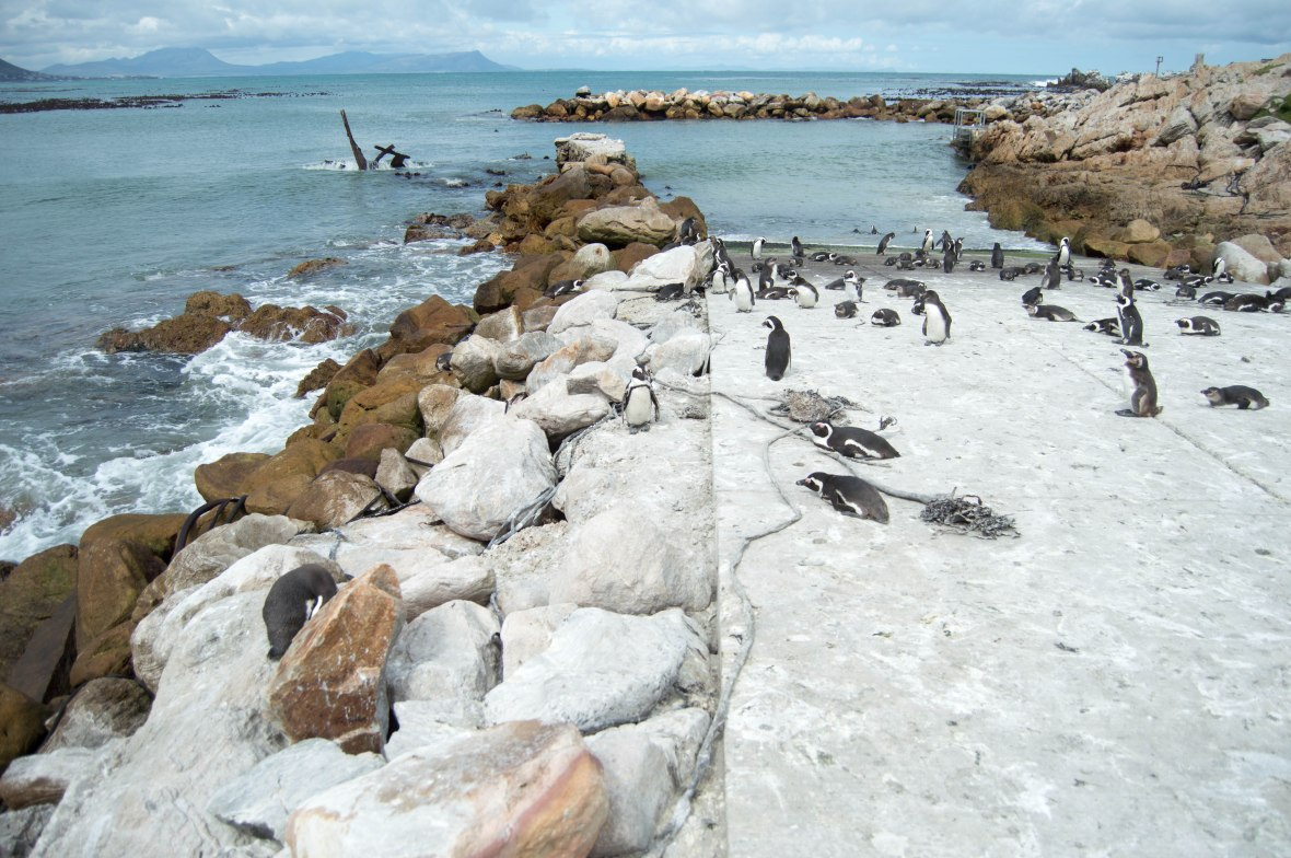 penguins-stony-point-bettys-bay-south-africa