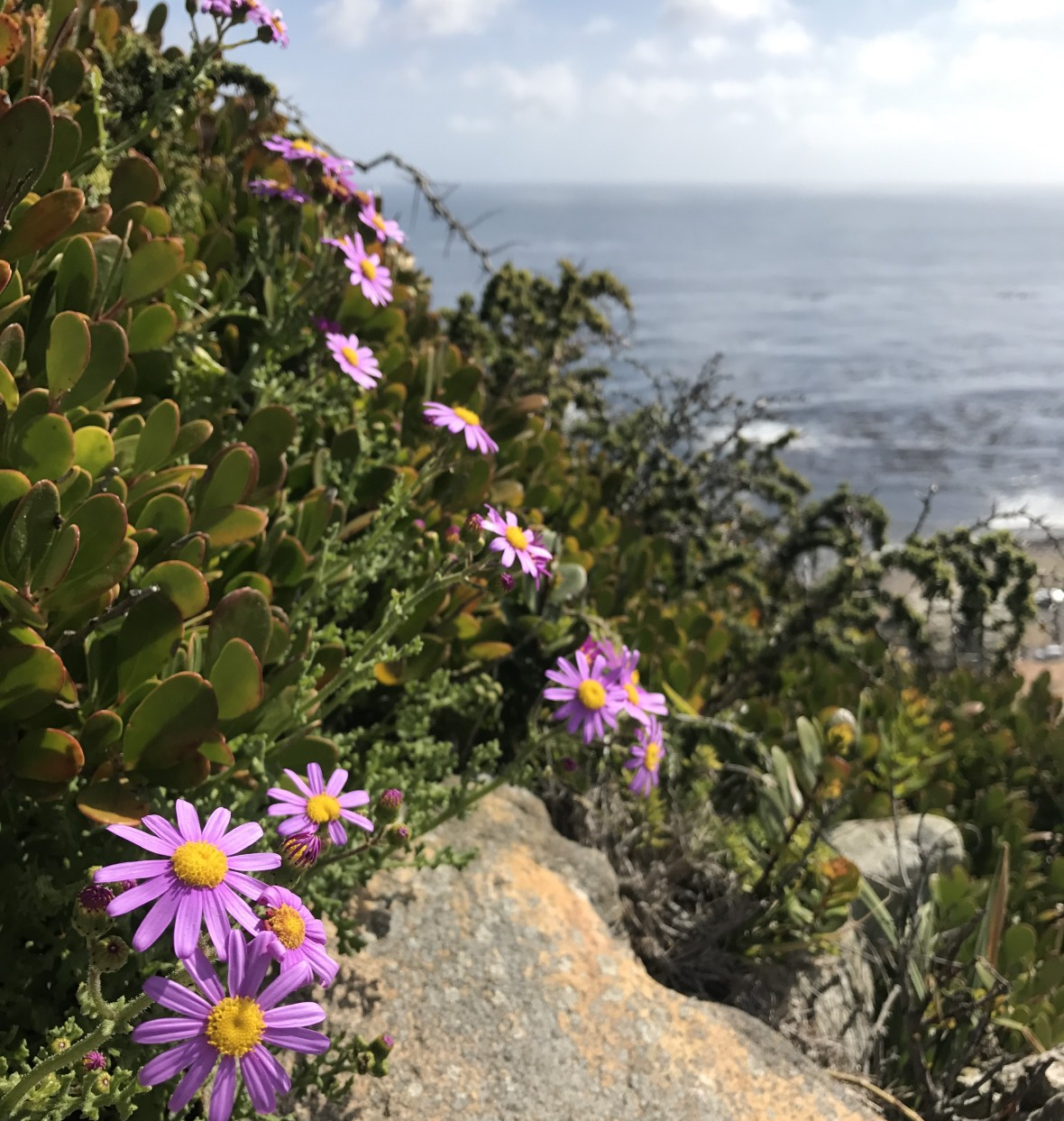 purple-flowers-cape-of-good-hope-south-africa