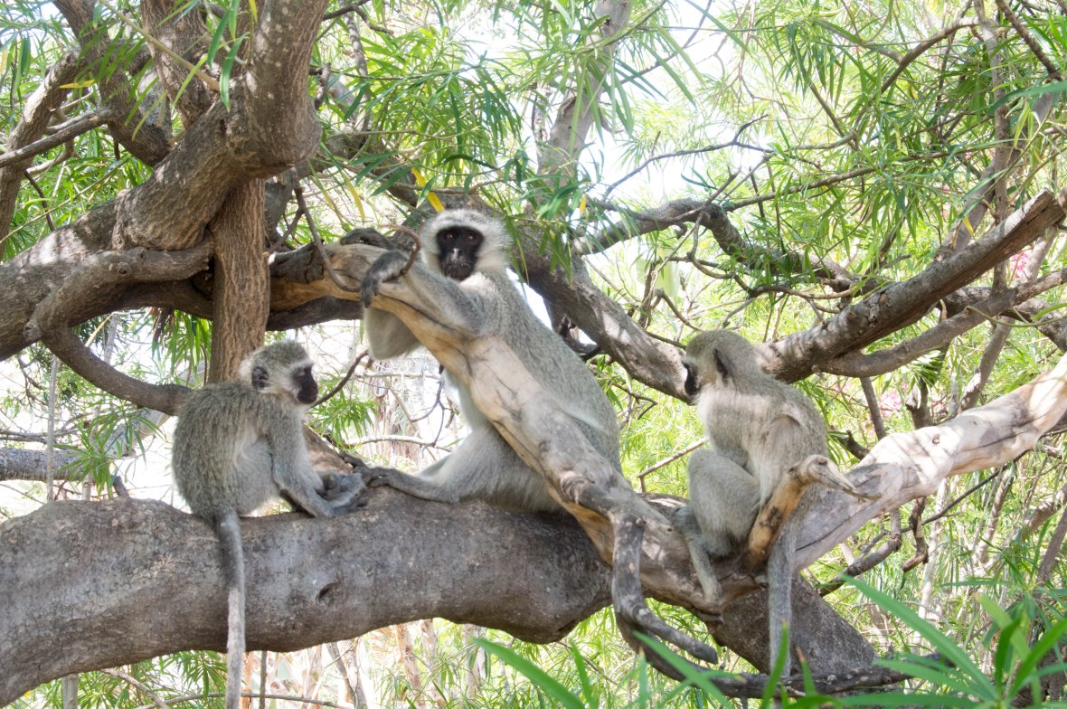 vervet-monkeys-safari-south-africa