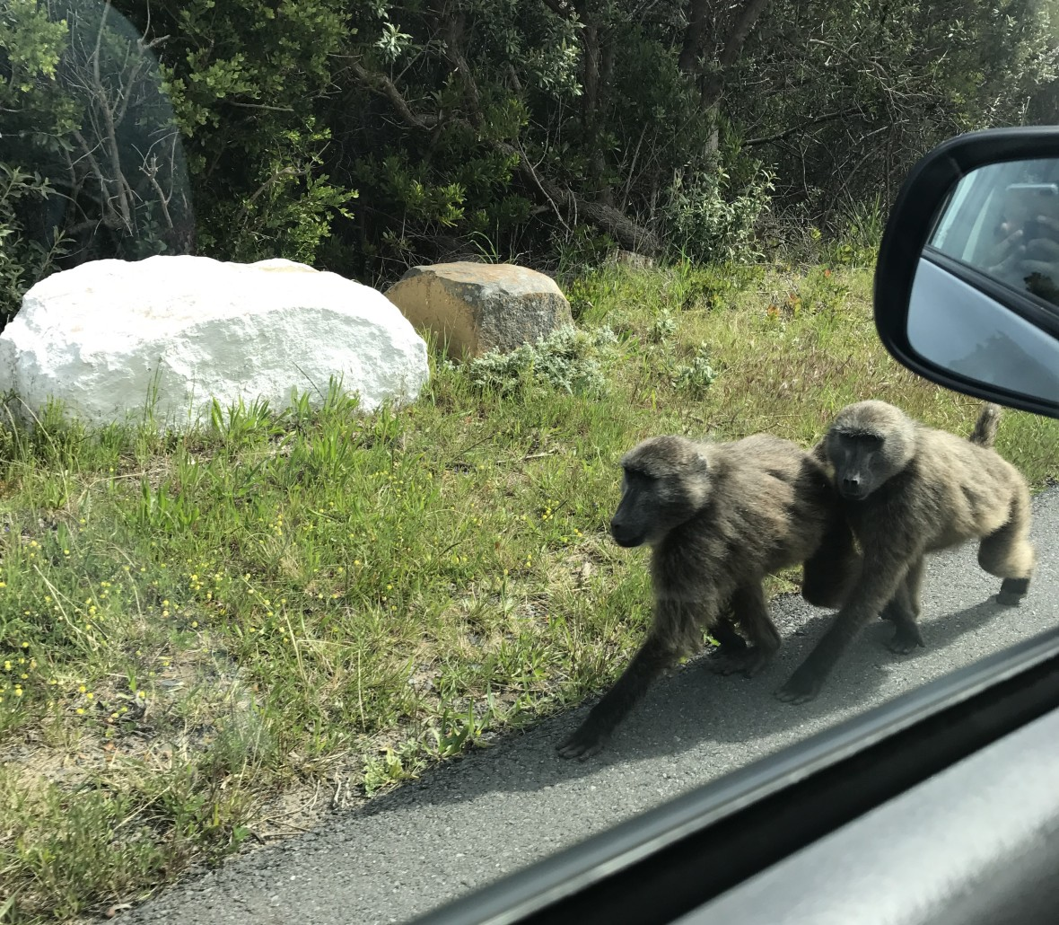 wild-baboons-cape-town-south-africa