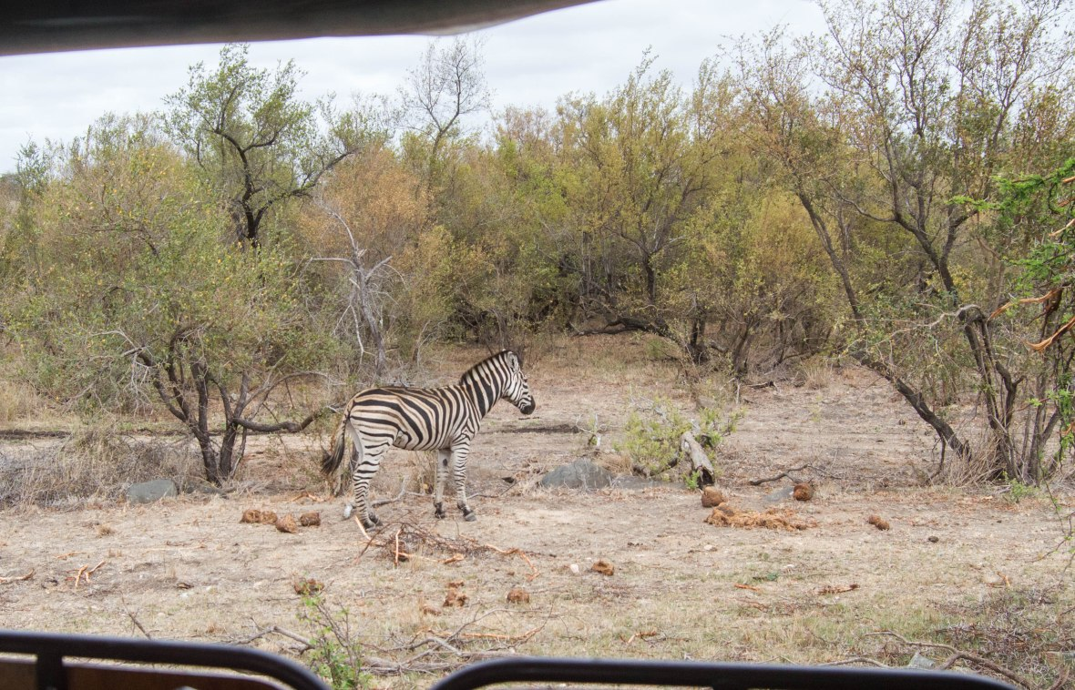 zebra-safari-kruger-national-park-south-africa