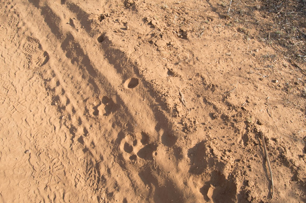 big-cat-footprints-safari-south-africa