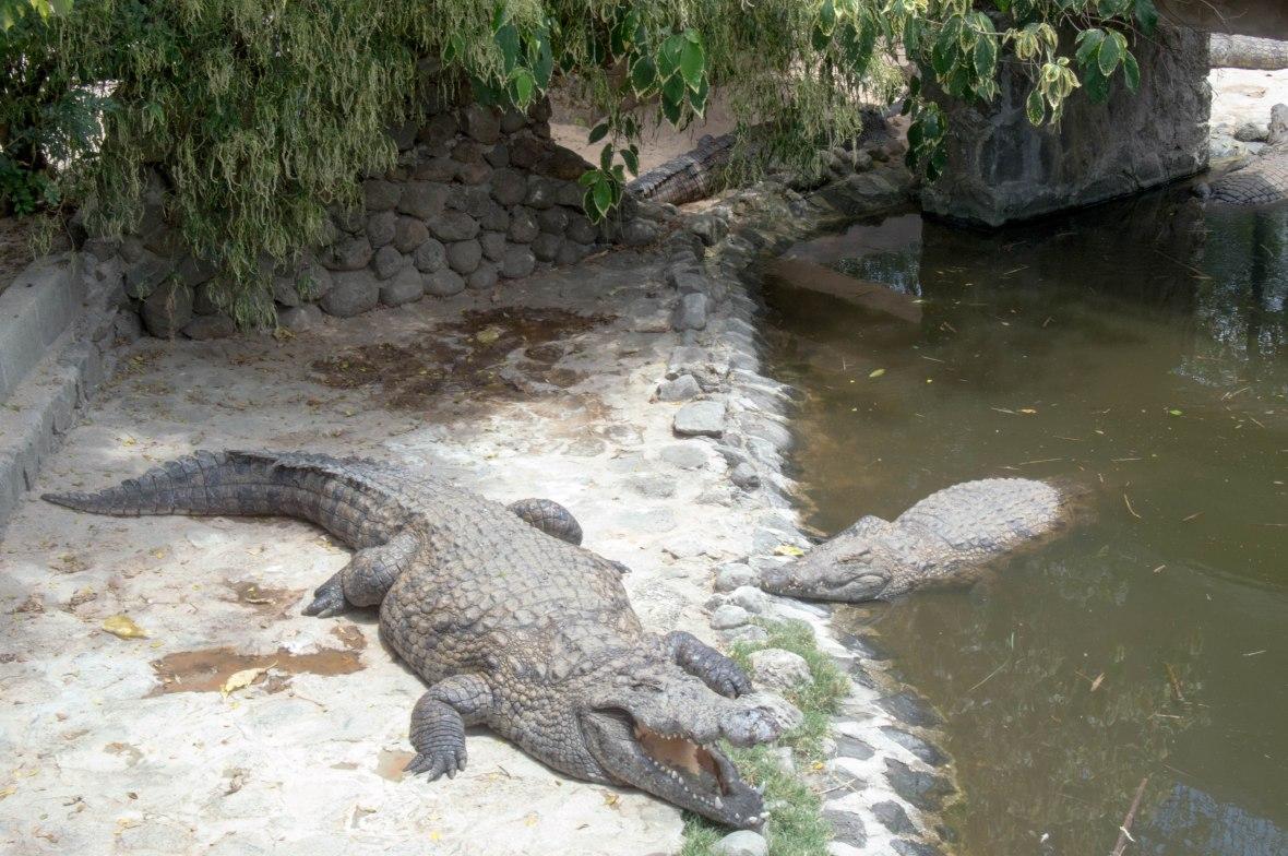 crocoiles-la-vanille-nature-park-mauritius