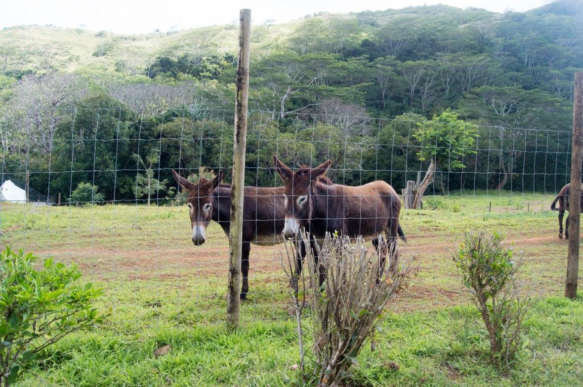 donkeys-mauritius