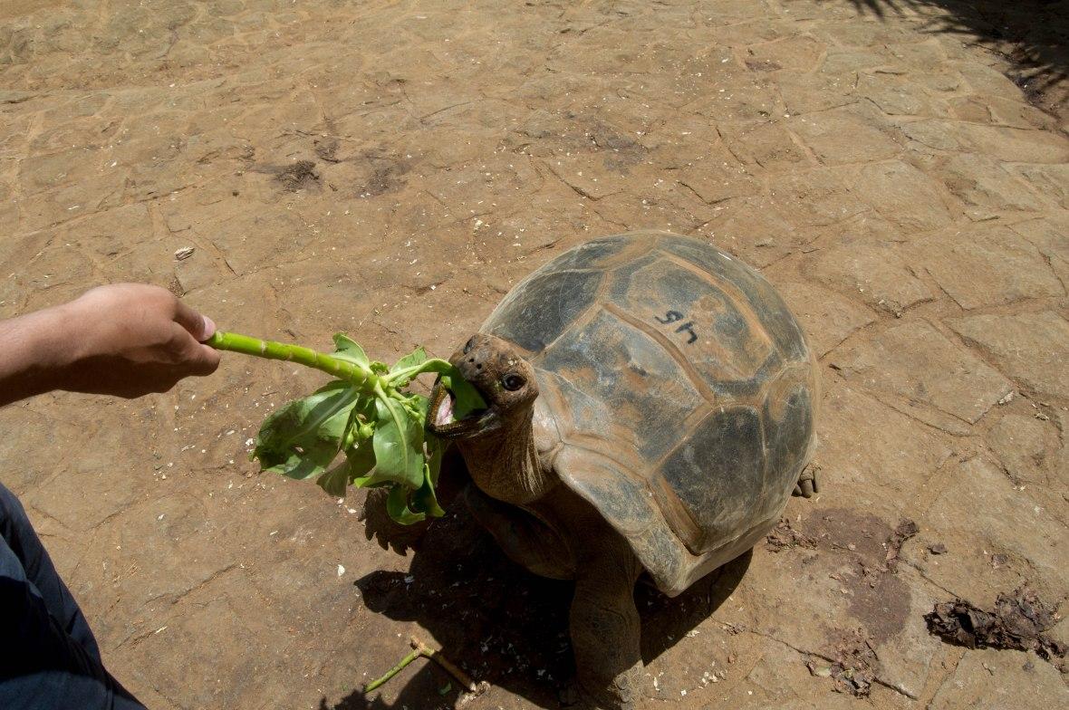 feeding-tortoises-la-vanille-nature-park-mauritius