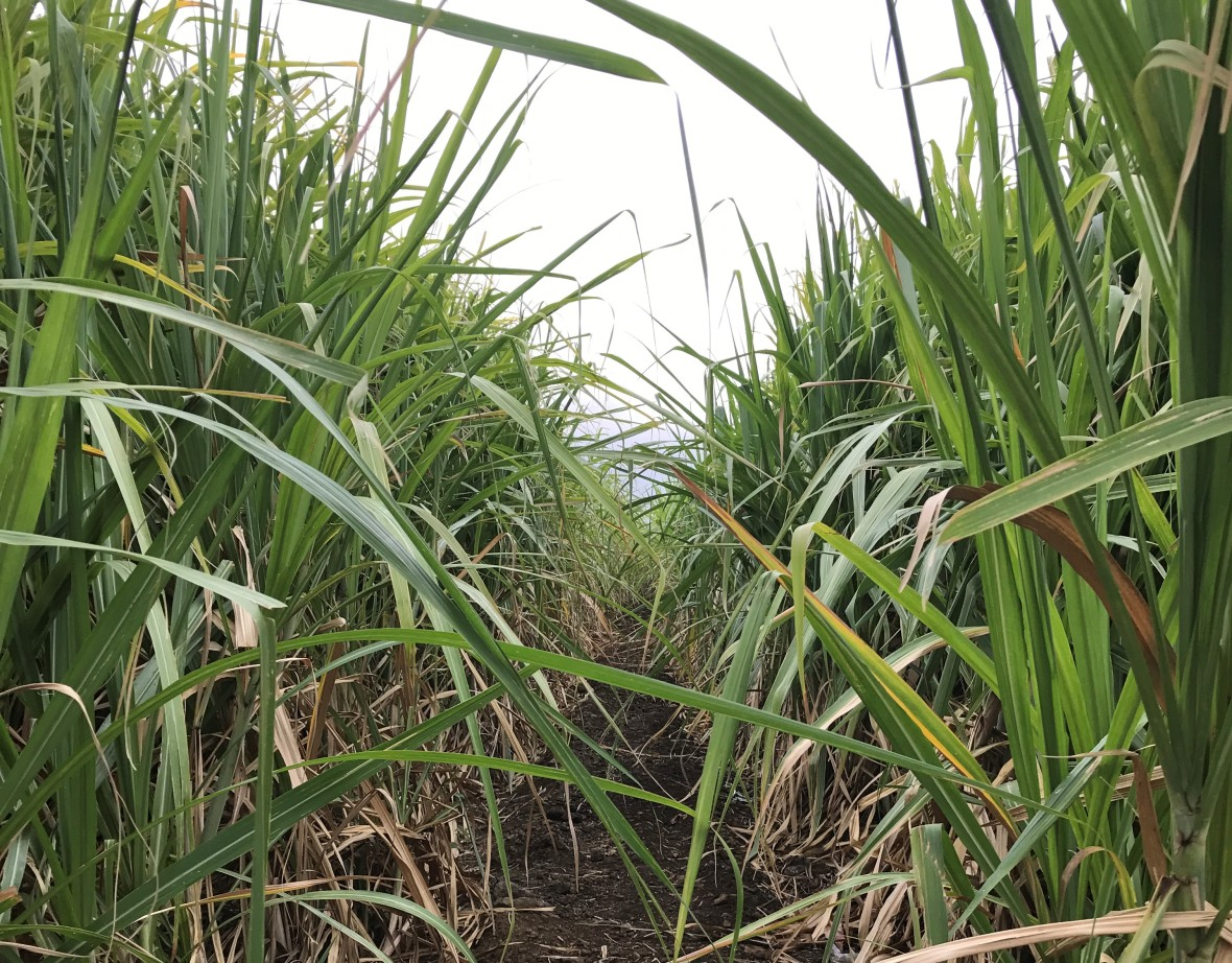 in-a-sugarcane-field-mauritius
