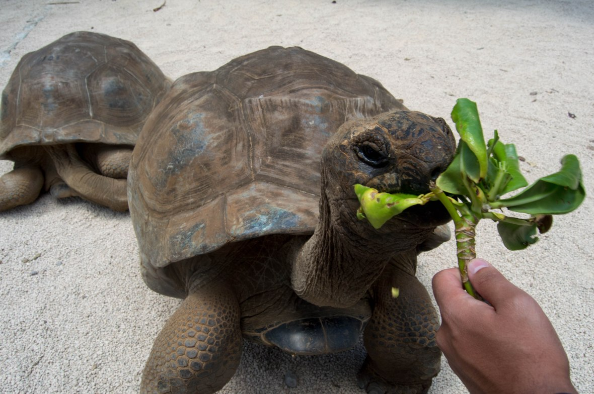 tortoise-feeding-la-vanille-nature-park-mauritius