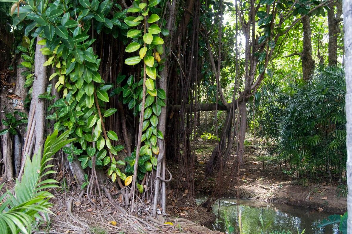 tree-with-hanging-roots-sir-seewoosagur-ramgoolam-botanical-garden-mauritius