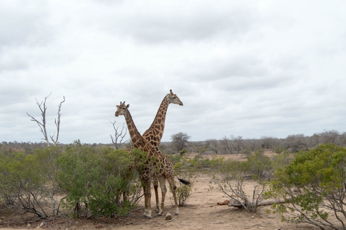 two-giraffes-safari-kruger-national-park-south-africa