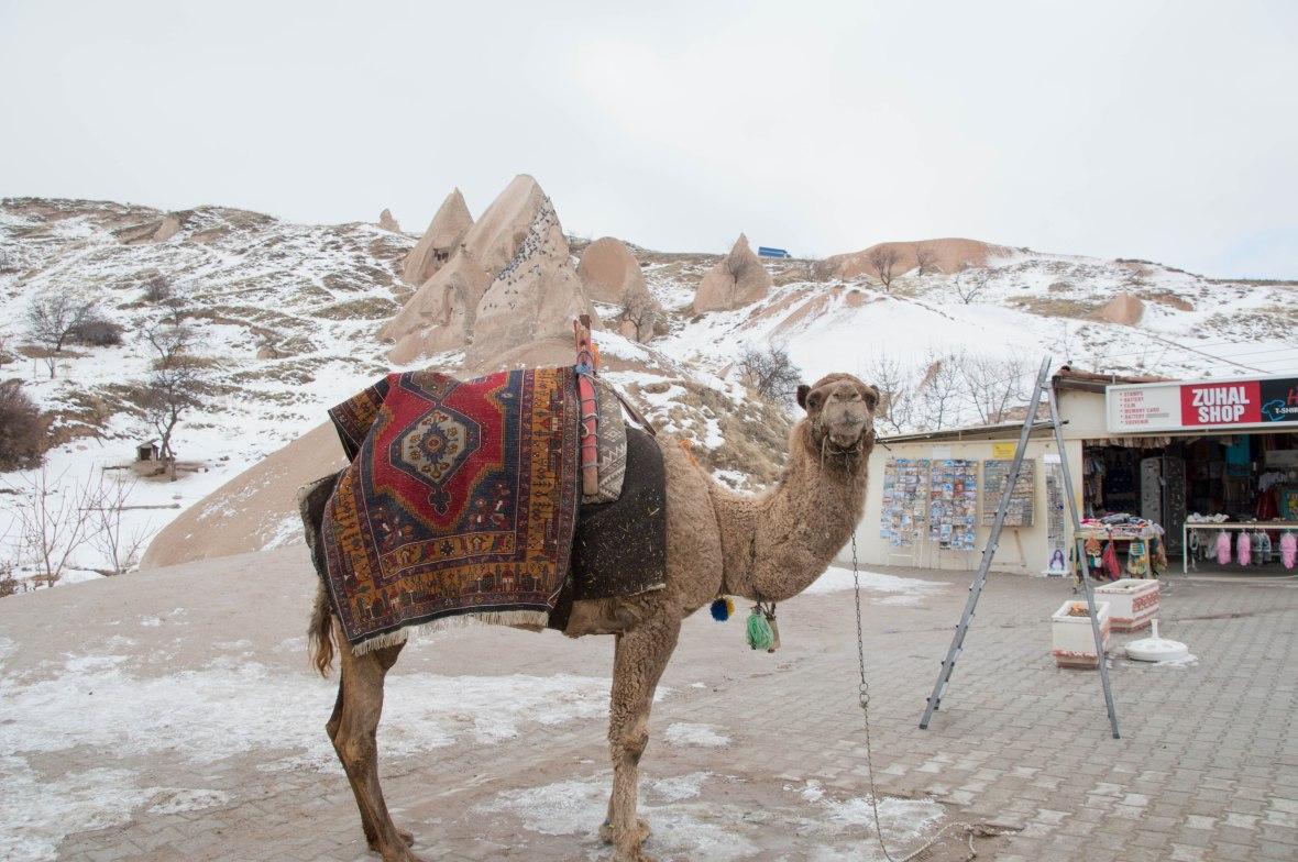 camel-capadoccia-turkey