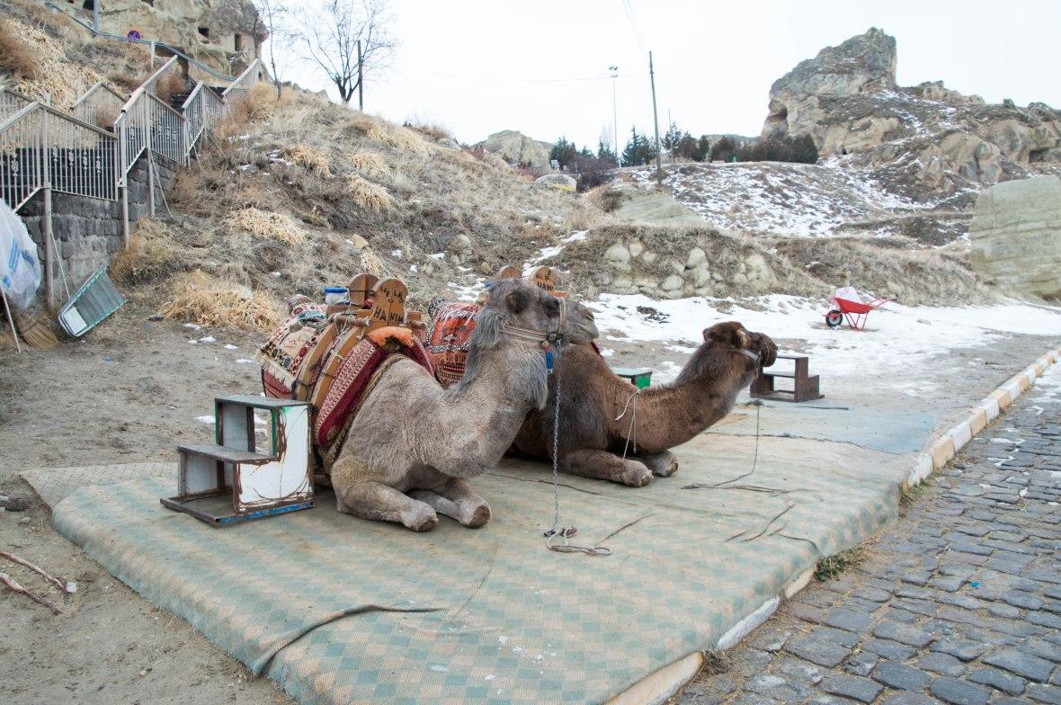 camels-capadoccia-turkey