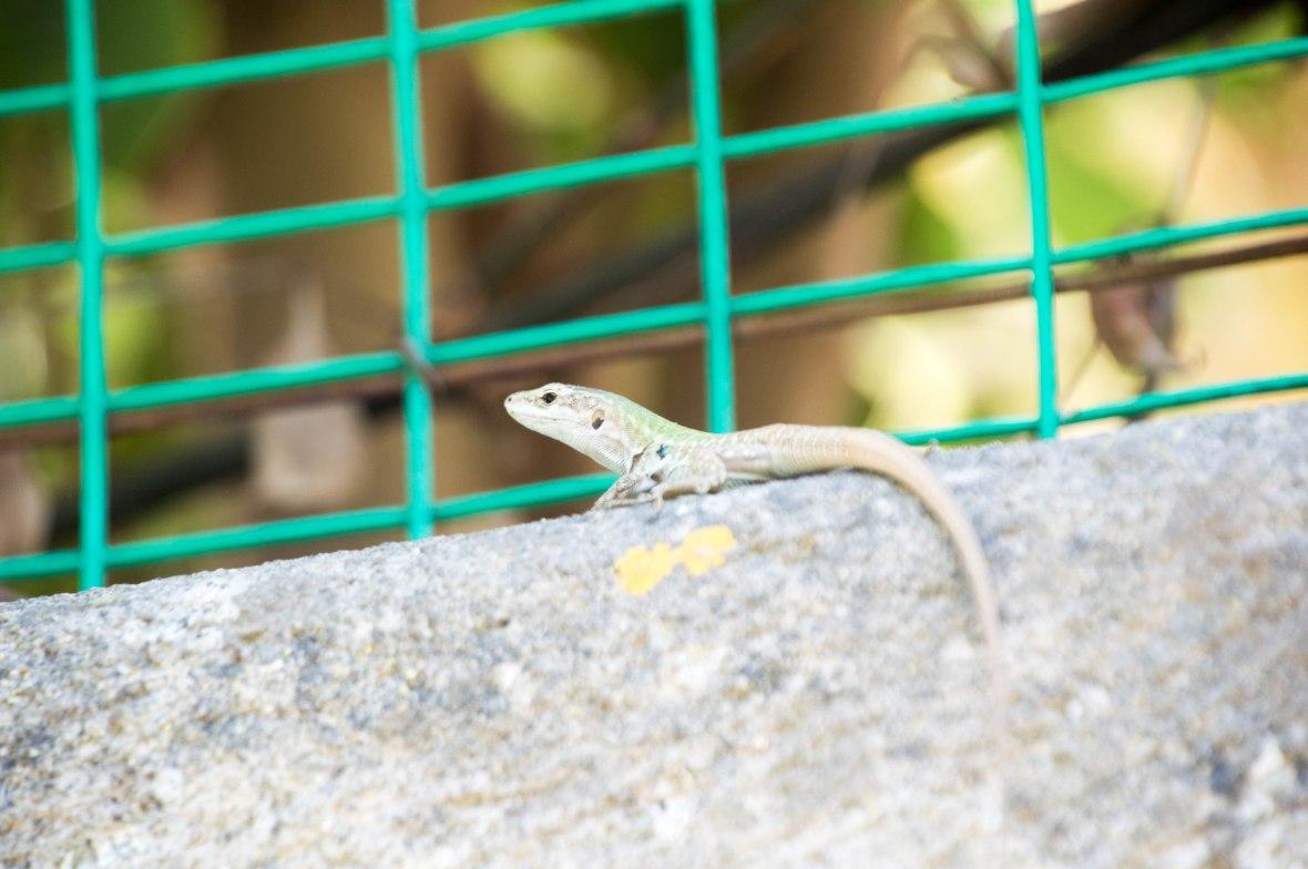 Lizard, Capri, Italy