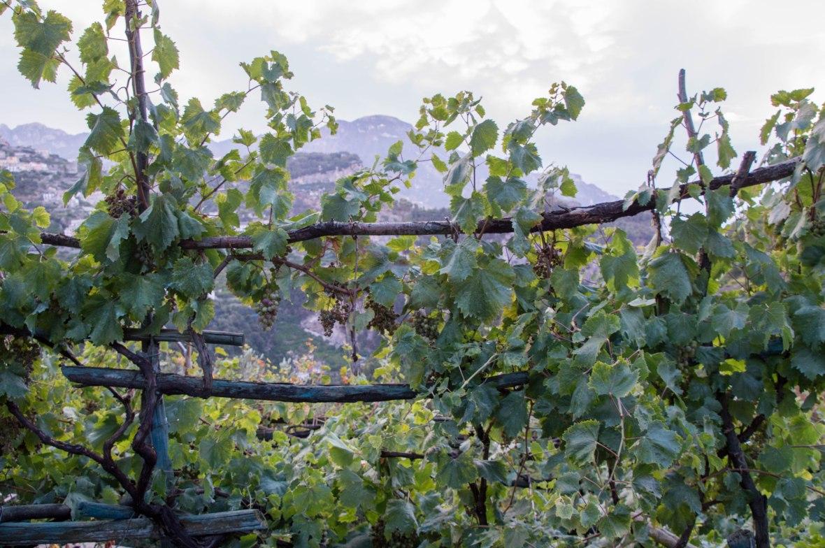Grapevines, Amalfi, Italy