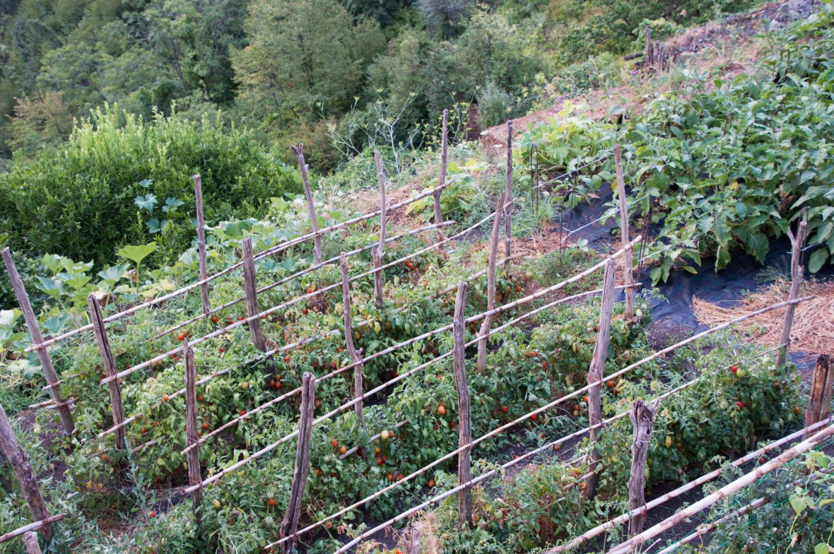 Tomatoes, Amalfi, Italy