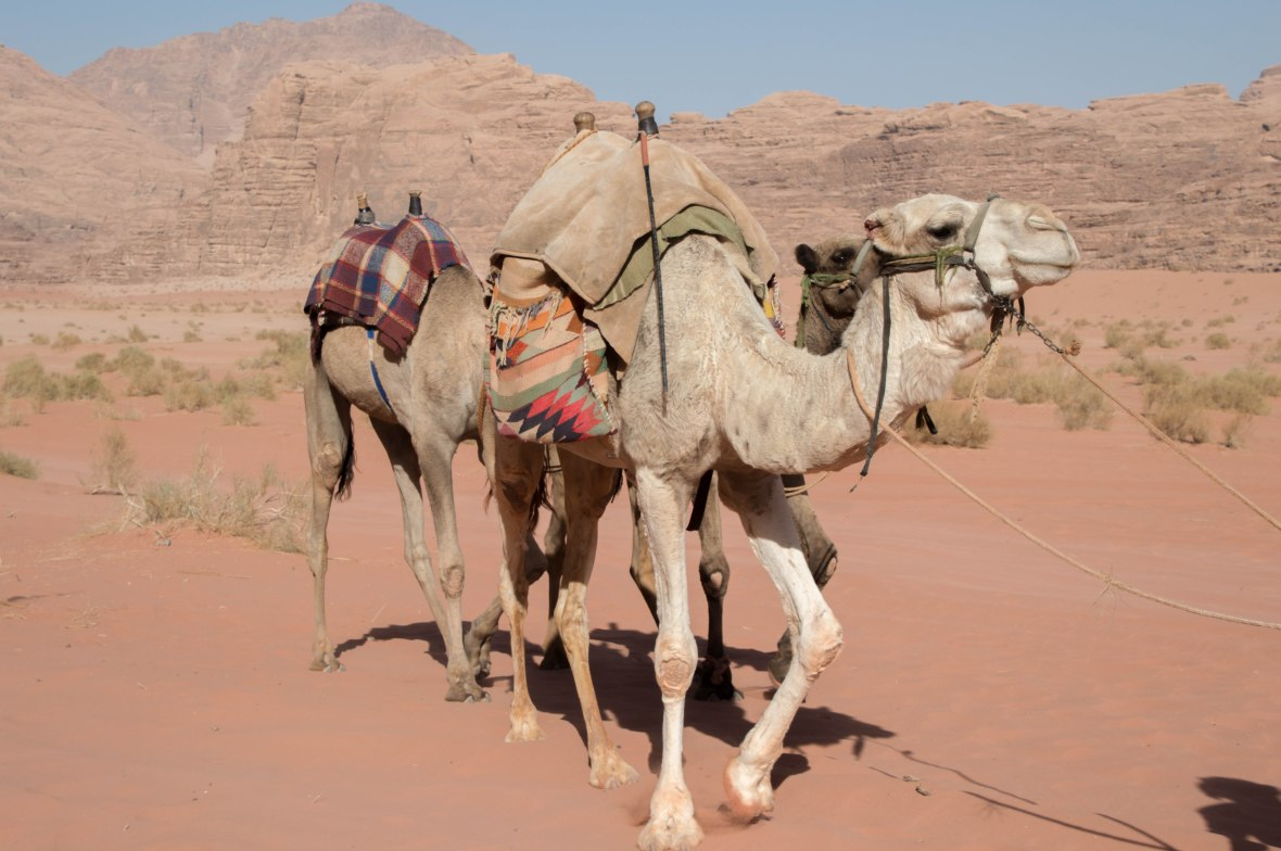 Camels In The Desert, Wadi Rum, Jordan
