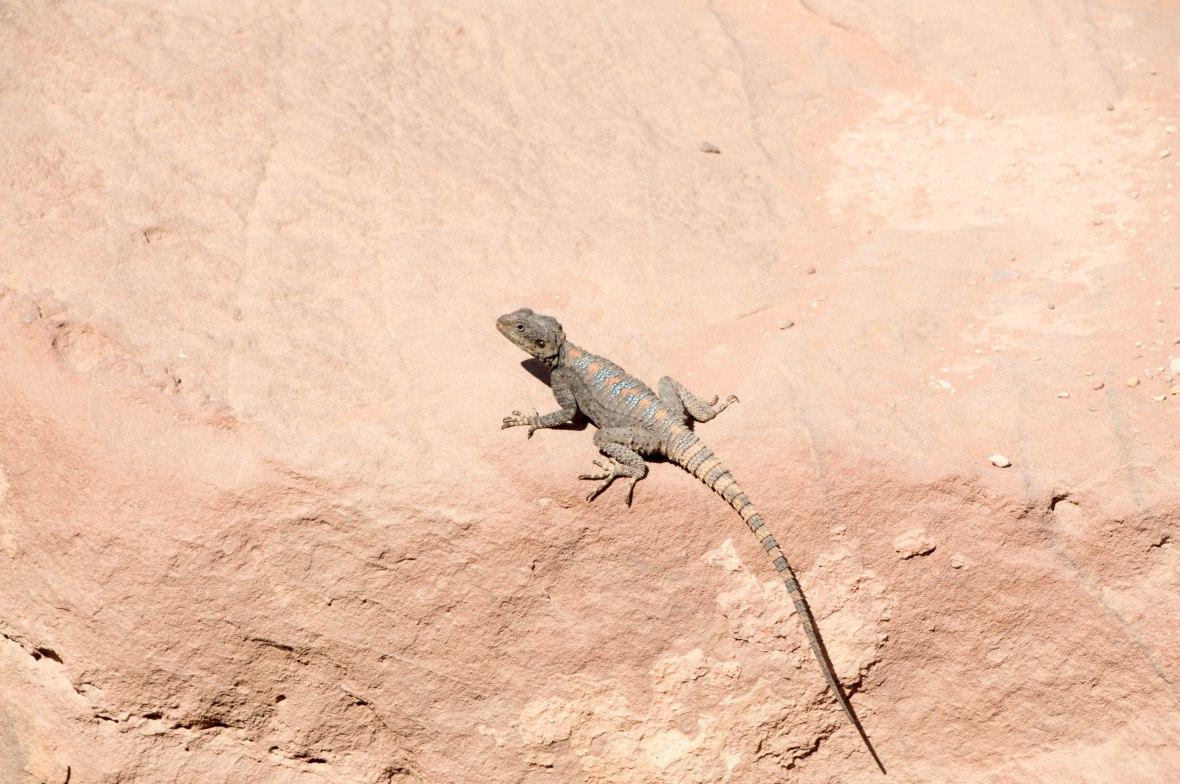 Lizard, Petra, Jordan
