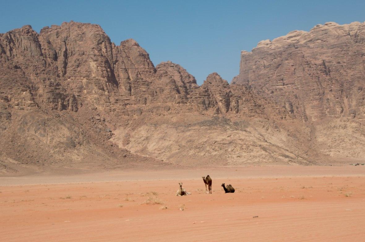 Wild Camels, Wadi Rum Desert, Jordan