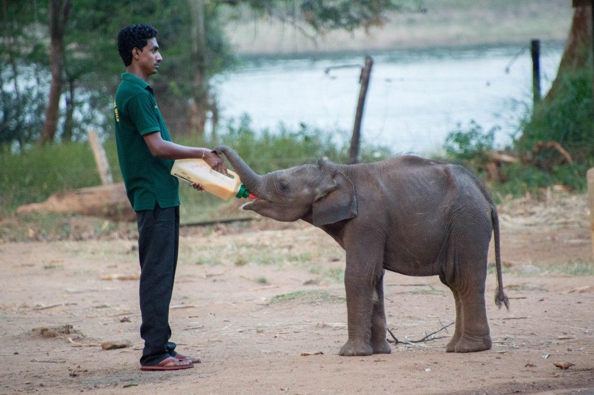 Baby Elephant, Feeding Time, Udawalawe Elephant Transit Home, Sri Lanka