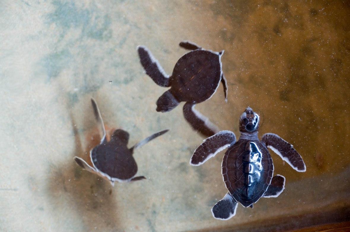 Baby Turtles, Kosgoda, Sri Lanka