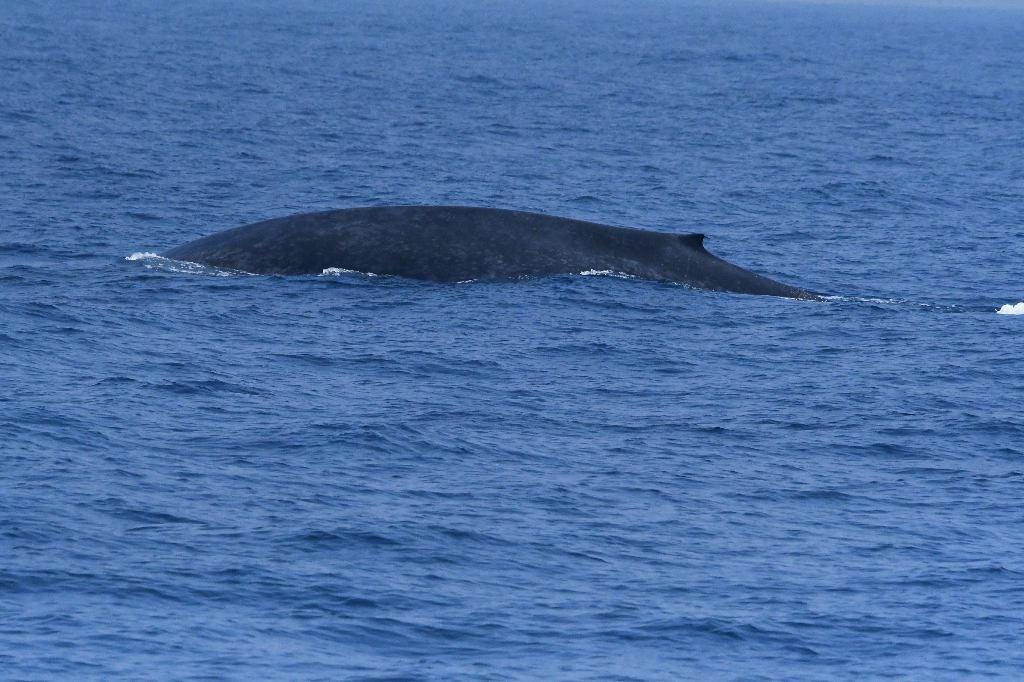 Blue Whale, Whale Watching, Mirissa, Sri Lanka
