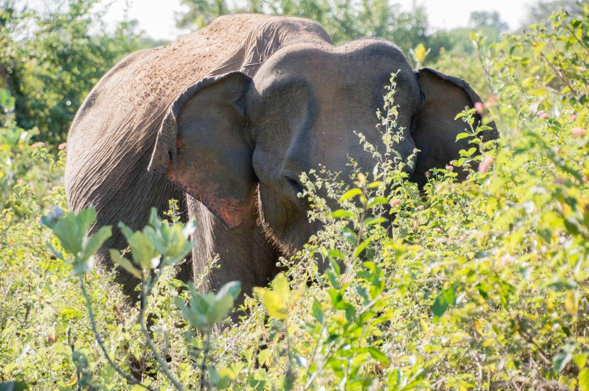 Close Up Of Elephant, Elephant Safari, Udawalawe, Sri Lanka