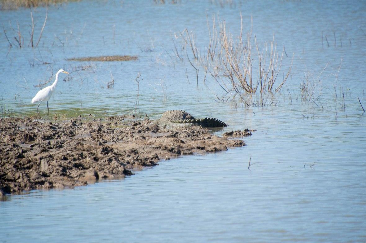 Crocodile And Little Egret Bird, Safari, Udawalawe, Sri Lanka