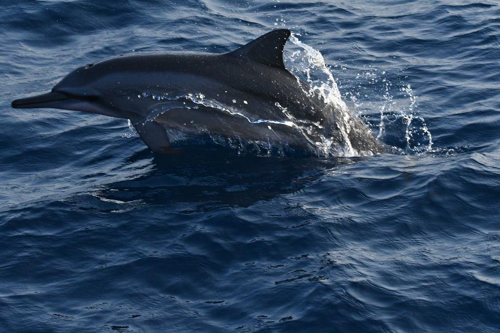 Dolphin, Whale Watching, Mirissa, Sri Lanka