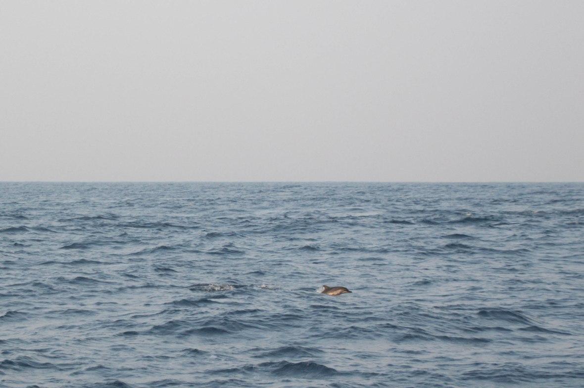 Dolphins, Mirissa, Whale Watching, Sri Lanka
