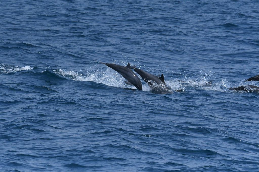 Dolphins Swimming Beside The Boat. Whale Watching Mirissa, Sri Lanka