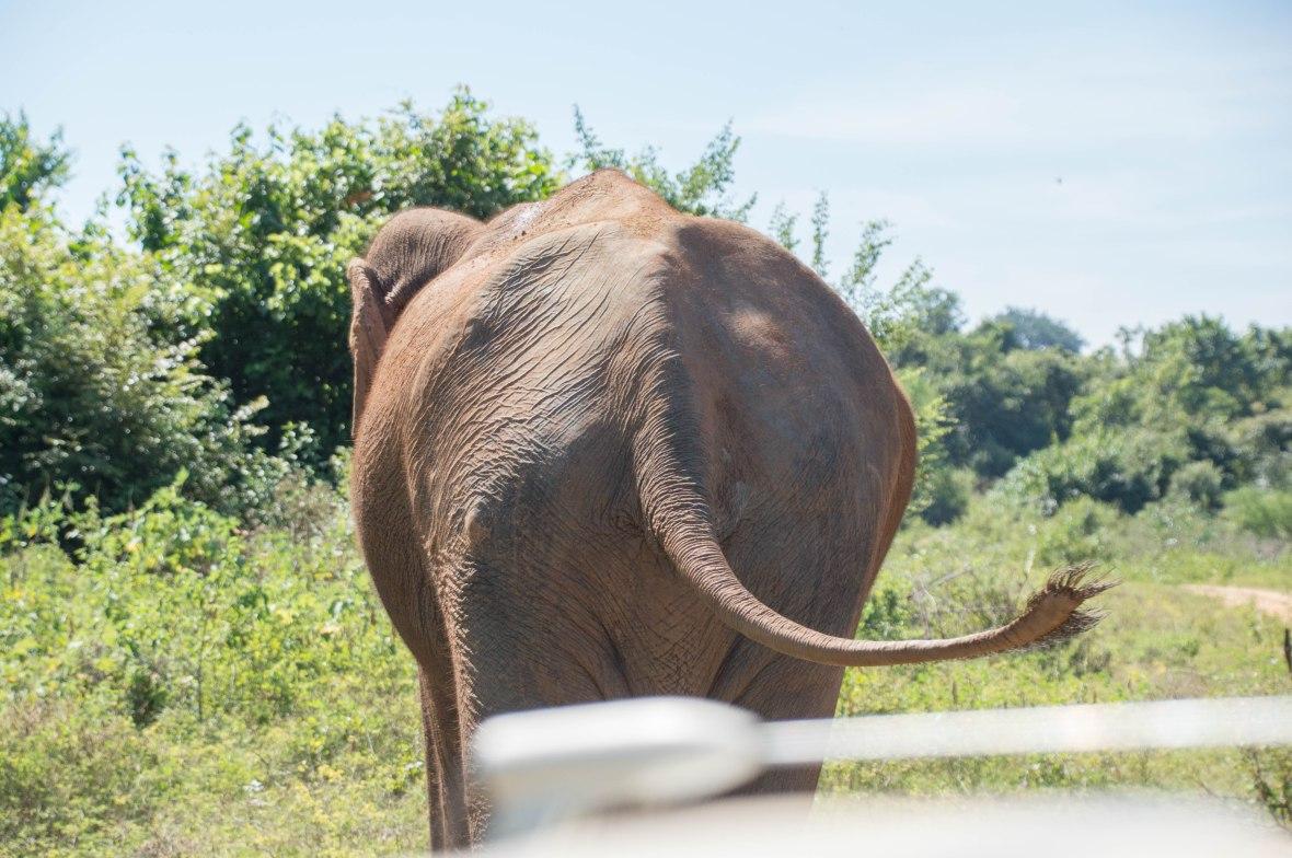 Elephant Bum, Safari, Udawalawe, Sri Lanka