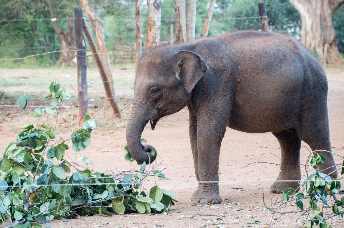Elephant Eating, Udawalawe Elephant Transit Home, Sri Lanka