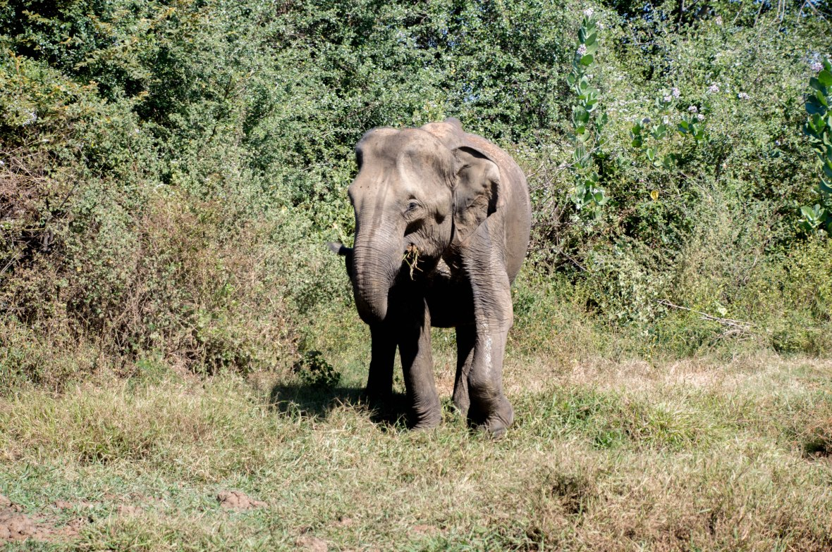 Elephant On Safari, Udawalawe, Sri Lanka