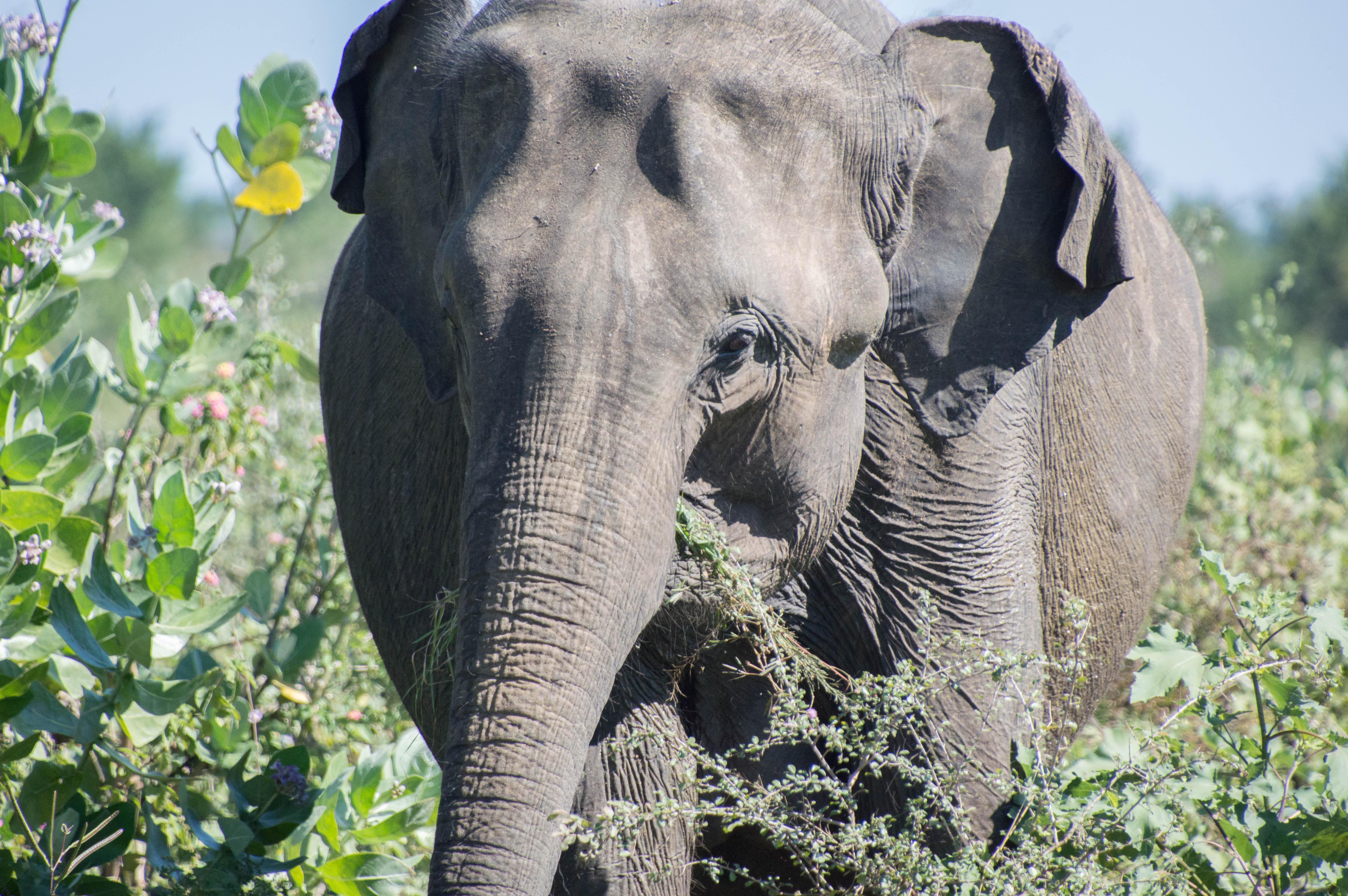 Elephant, Udawalawe, Sri Lanka (2)