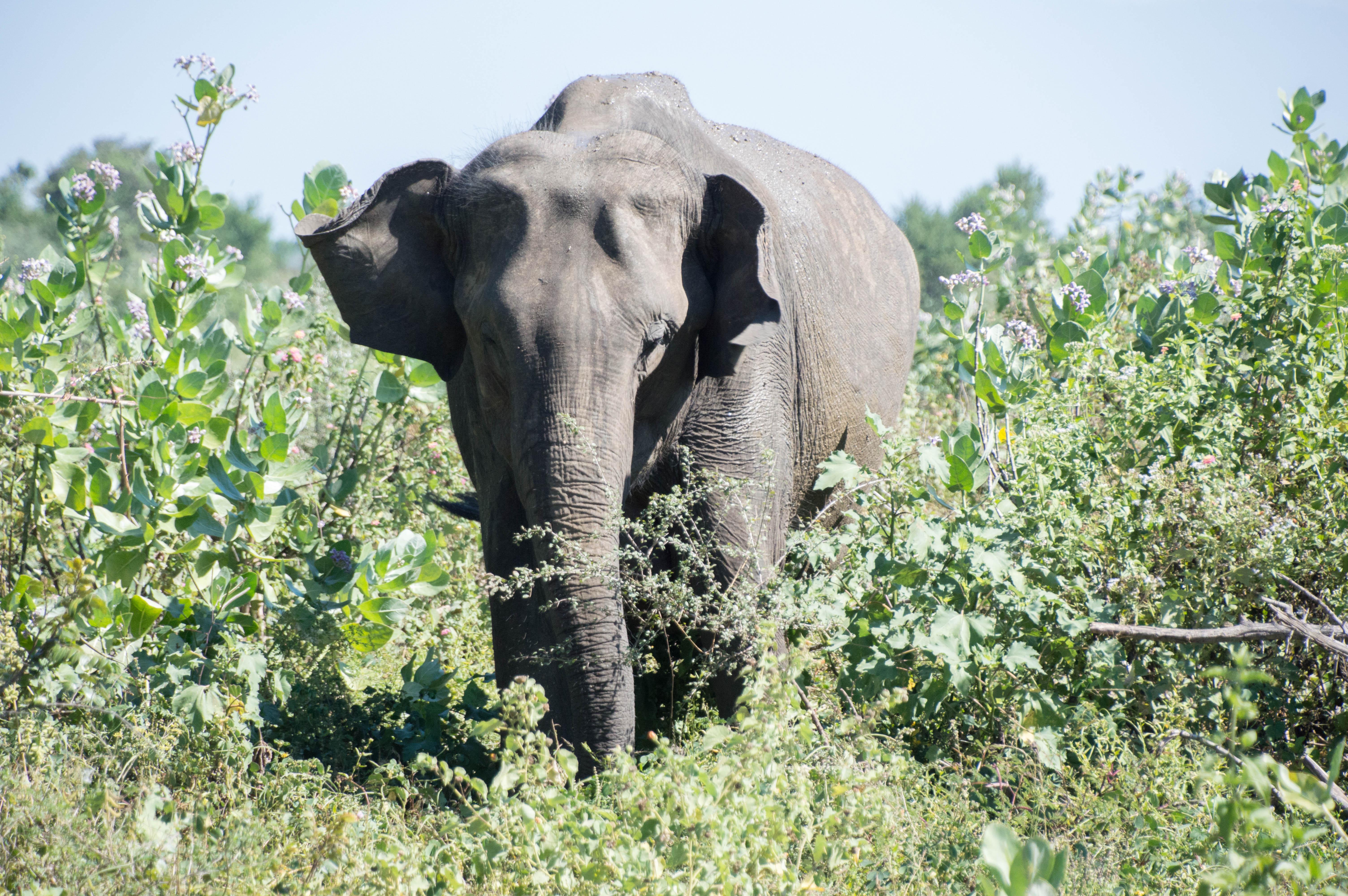Elephant, Udawalawe, Sri Lanka