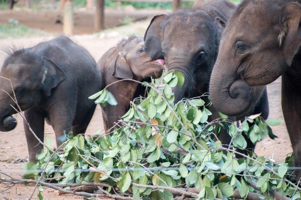 Elephants Eating, Udawalawe Elephant Transit Home, Sri Lanka