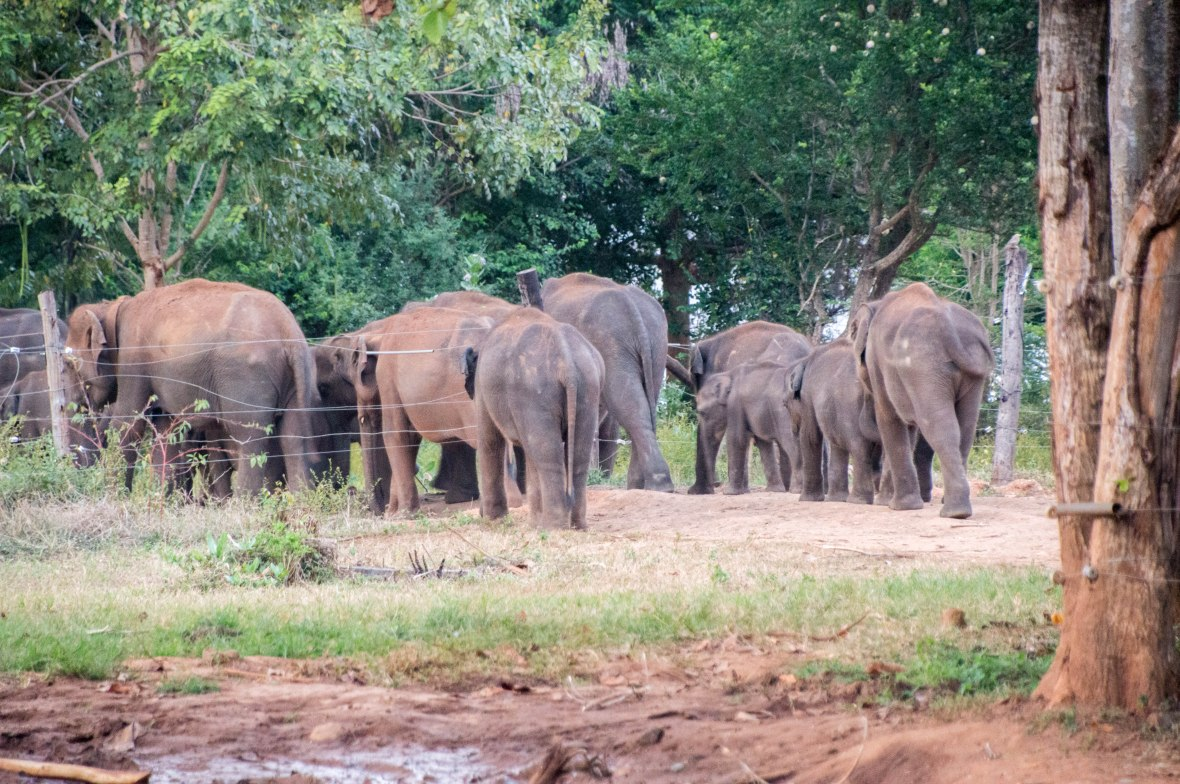 Elephants Leaving, Udawalawe Elephant Transit Home, Sri Lanka