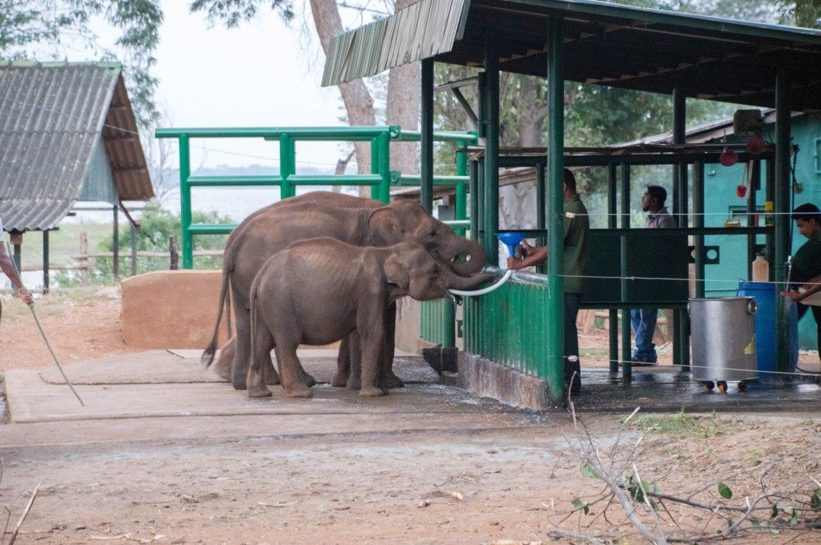 Feeding Time, Udawalawe Elephant Transit Home, Sri Lanka
