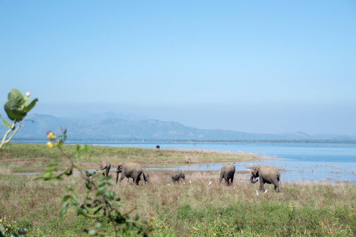 Herd Of Elephants, Safari, Udawalawe, Sri Lanka