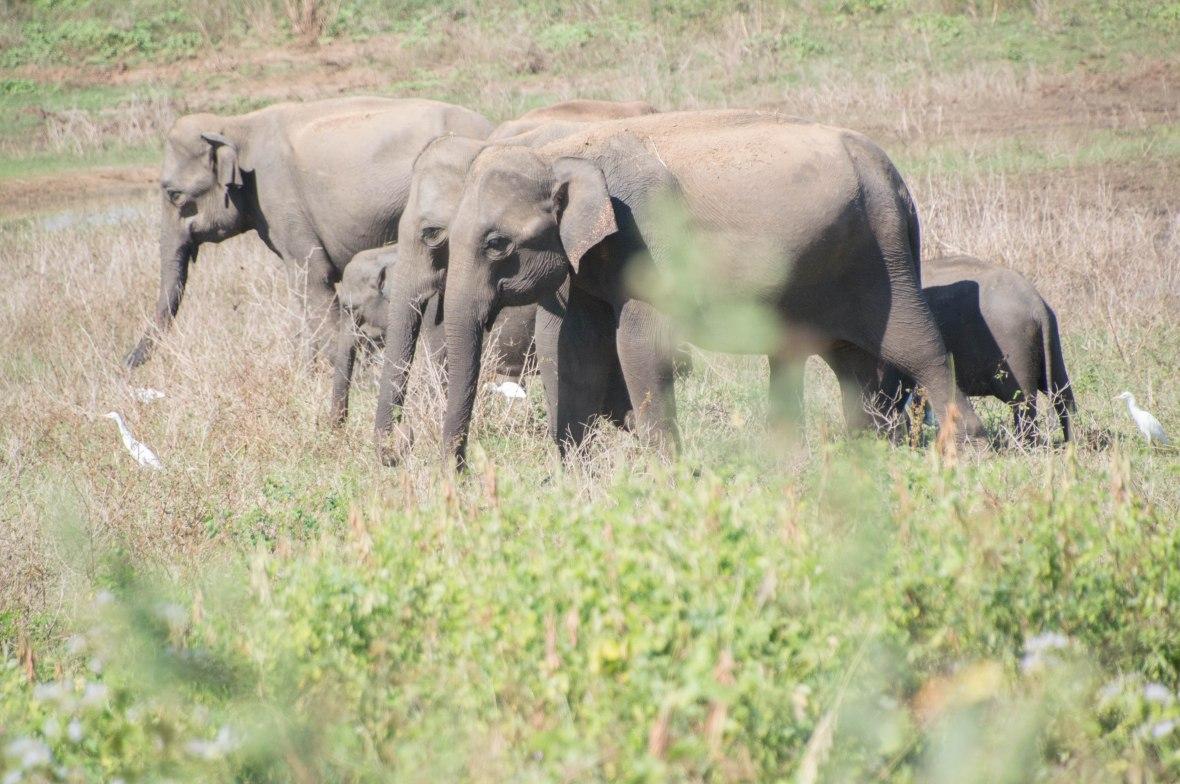 Herd Of Elephants, Udawalawe, Sri Lanka