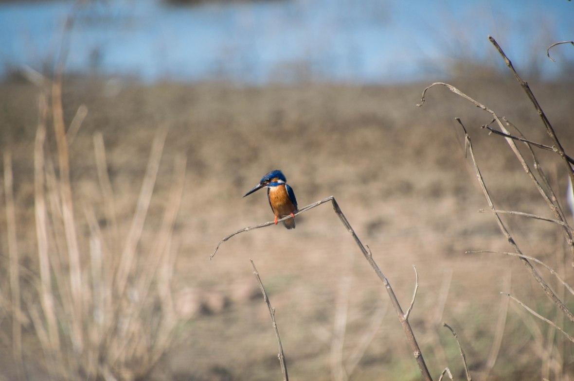 Kingfisher Bird, Safari, Udawalawe, Sri Lanka