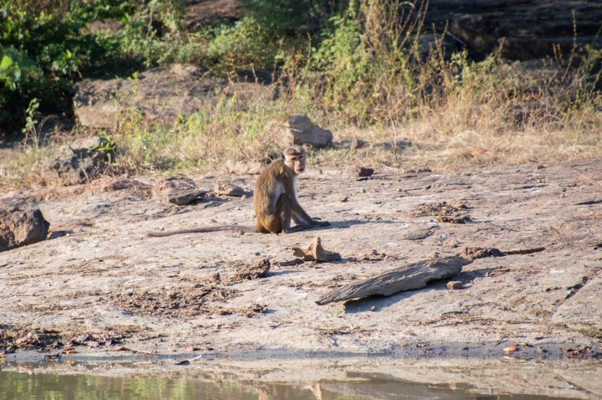 Monkey, Safari, Udawalawe, Sri Lanka