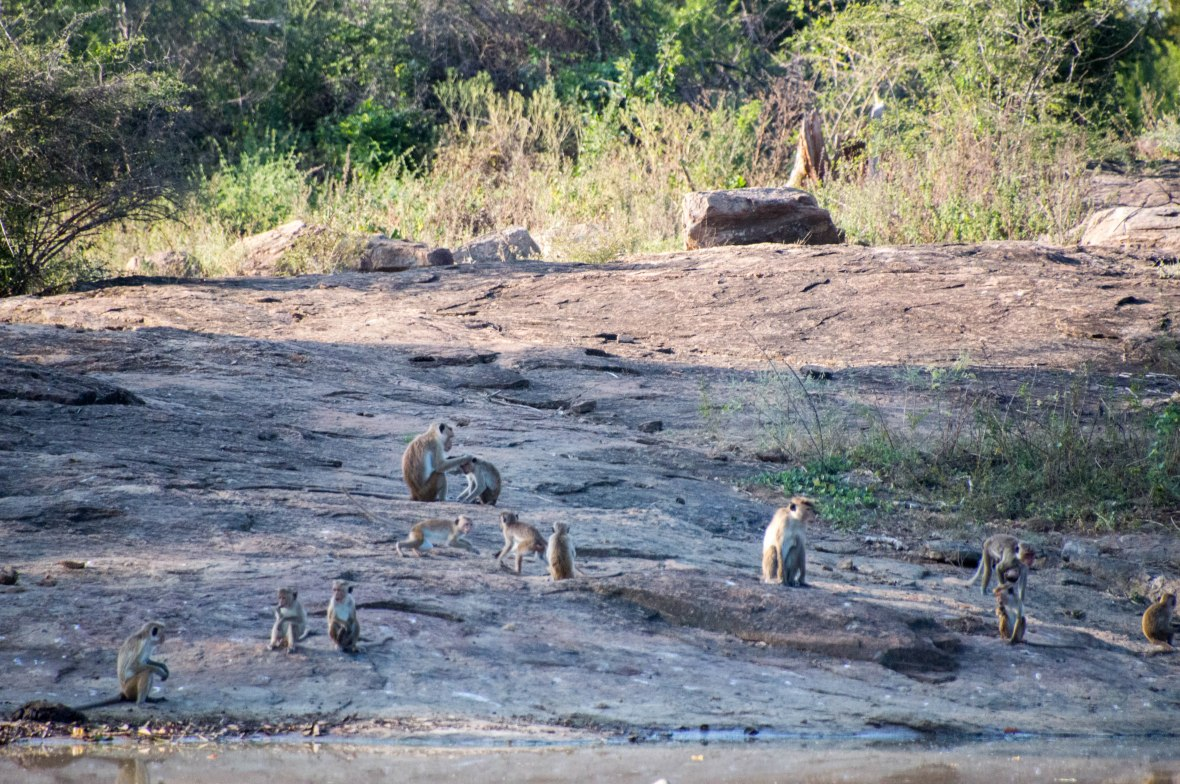 Monkeys, Safari, Udawalawe, Sri Lanka