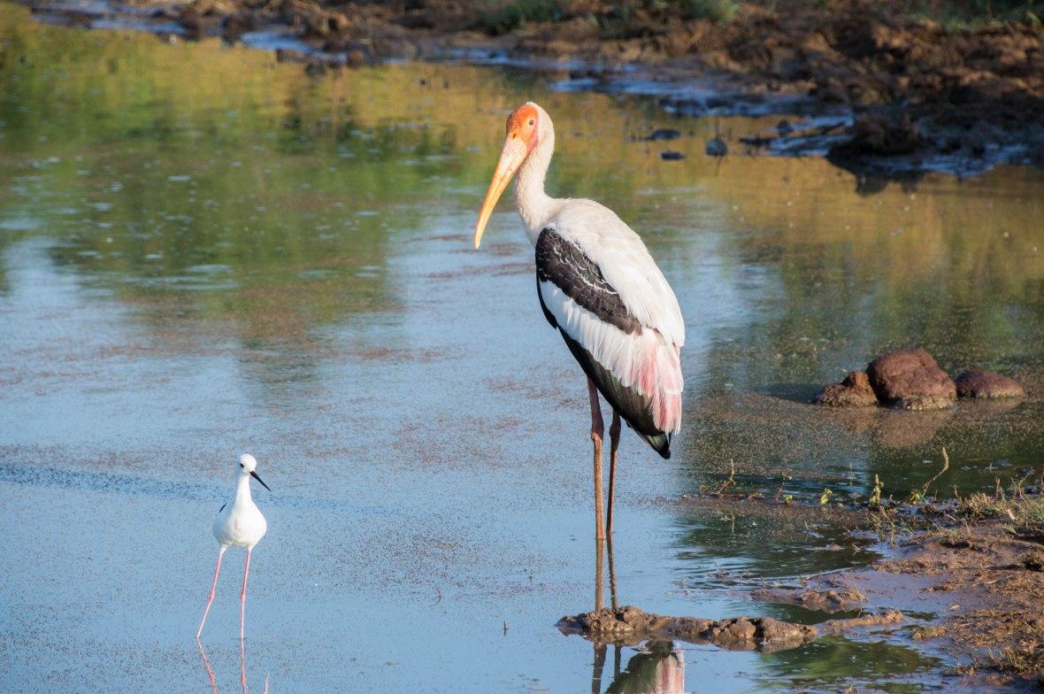 Painted Stork And Baby, Safari, Udawalawe, Sri Lanka