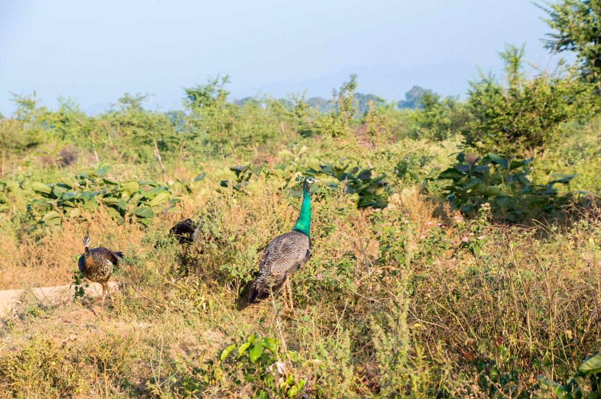 Peacock And Peahens, Safari, Udawalawe, Sri Lanka