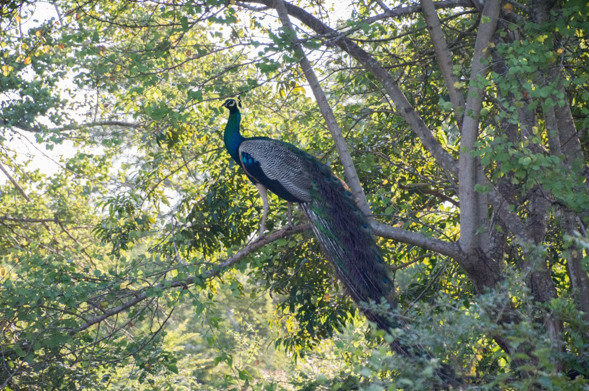 Peacock In A Tree, Safari, Udawalawe, Sri Lanka